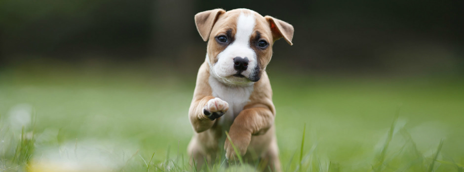 Puppy running through grass