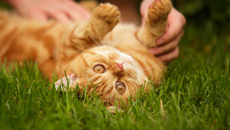 Ginger cat rolling over in the grass