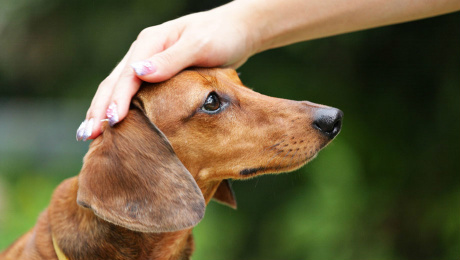Owner's hand rested ontop of tan Dachshunds head