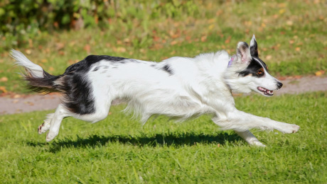 Black and white dog running through grass